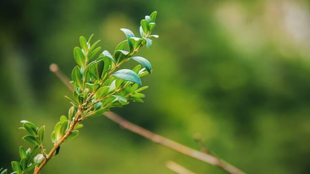 Der Buchsbaum