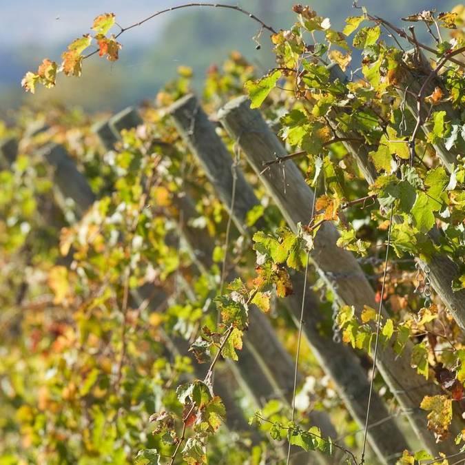 Les vignobles de Fontfroide